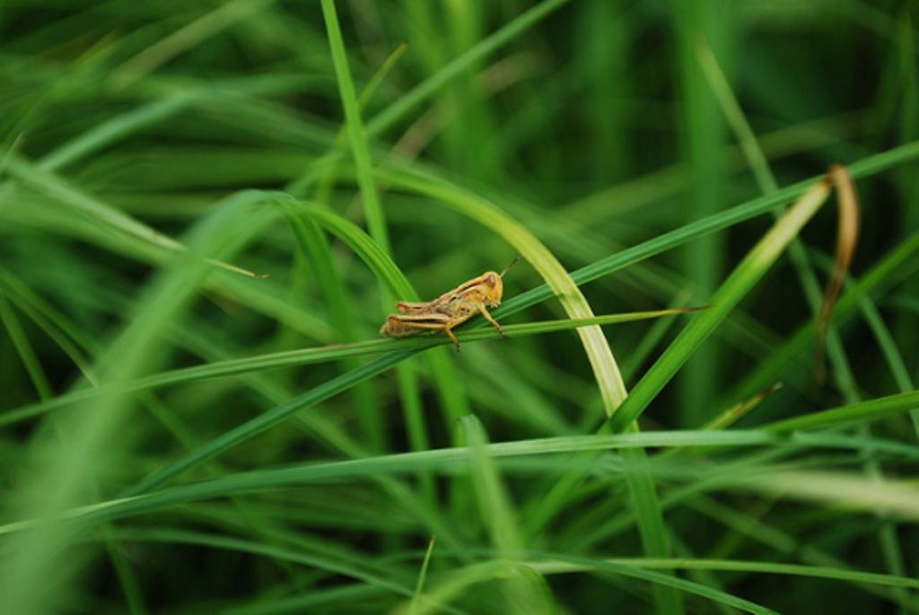 Grasshopper-on-leaves