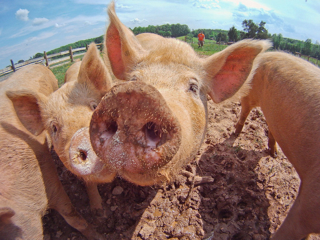 Close-up photo of a pig's face taken with a fish-eye lens so the snout looks huge!