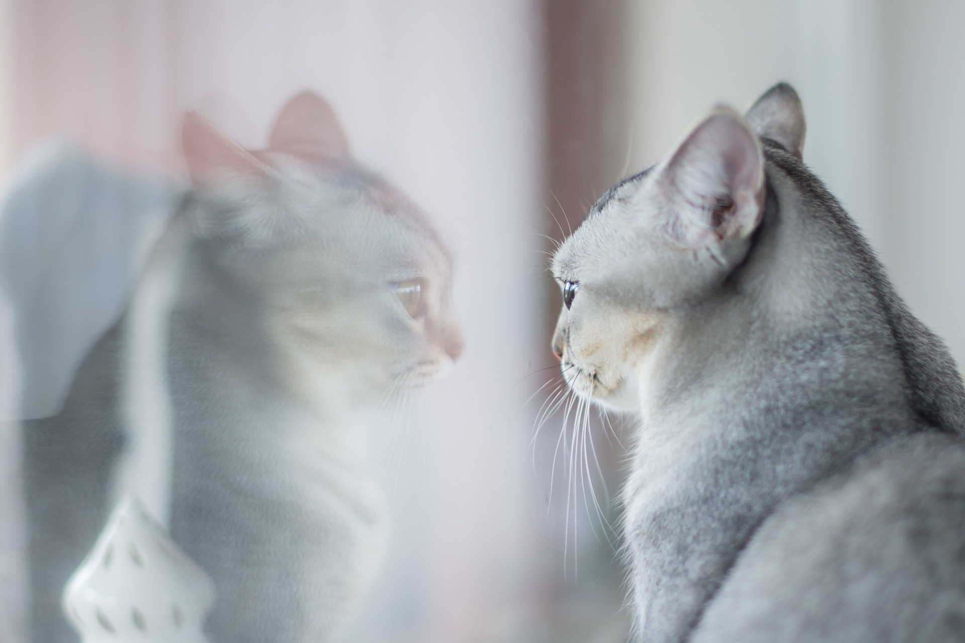 Photo of grey cat looking at its own reflection in a window.