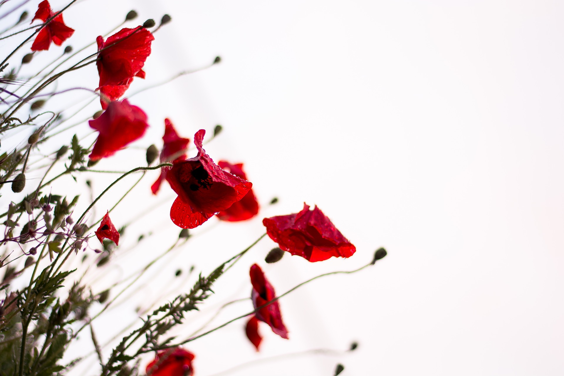 Photo of poppies in bloom