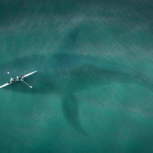 photo: the shadow of a basking shark in the sea is seen from above - it looms underneath and dwarfs a canoe with two passengers