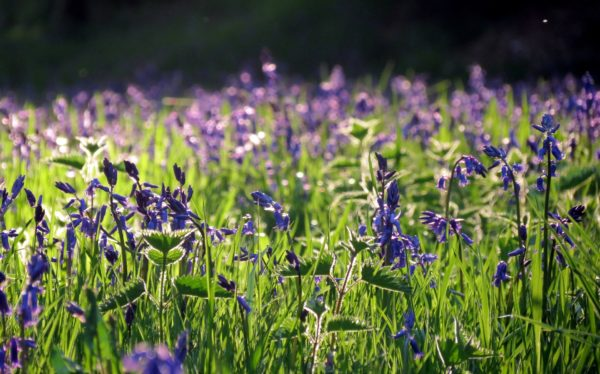 Photo of purple wildflowers in a meadow