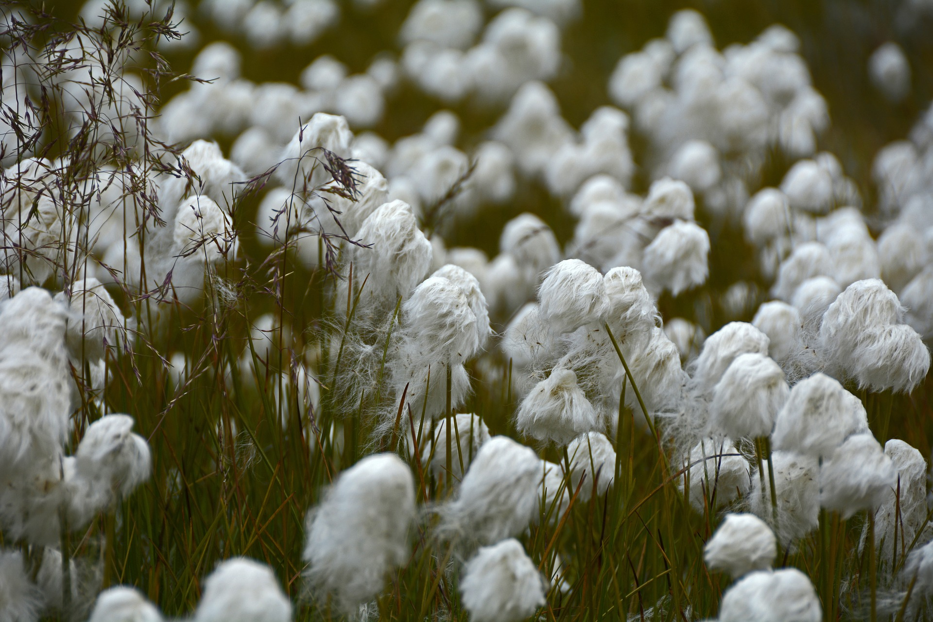 Bog cotton, cotton grass, or Lucky Minnie's Oo