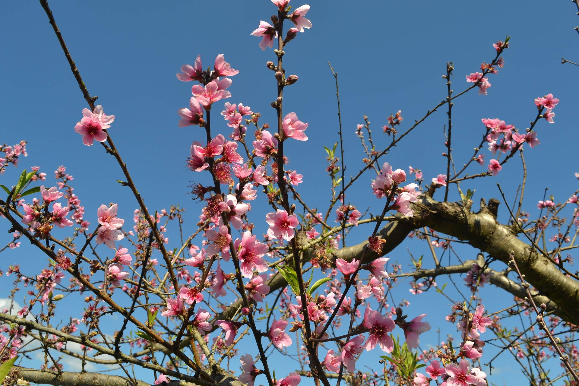 peach blossoms on blue sky