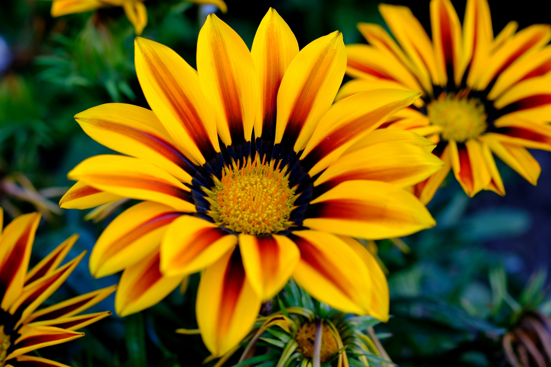 Gazani hybrid flowers - bright yellow with orange-y brown streaks going through each petal