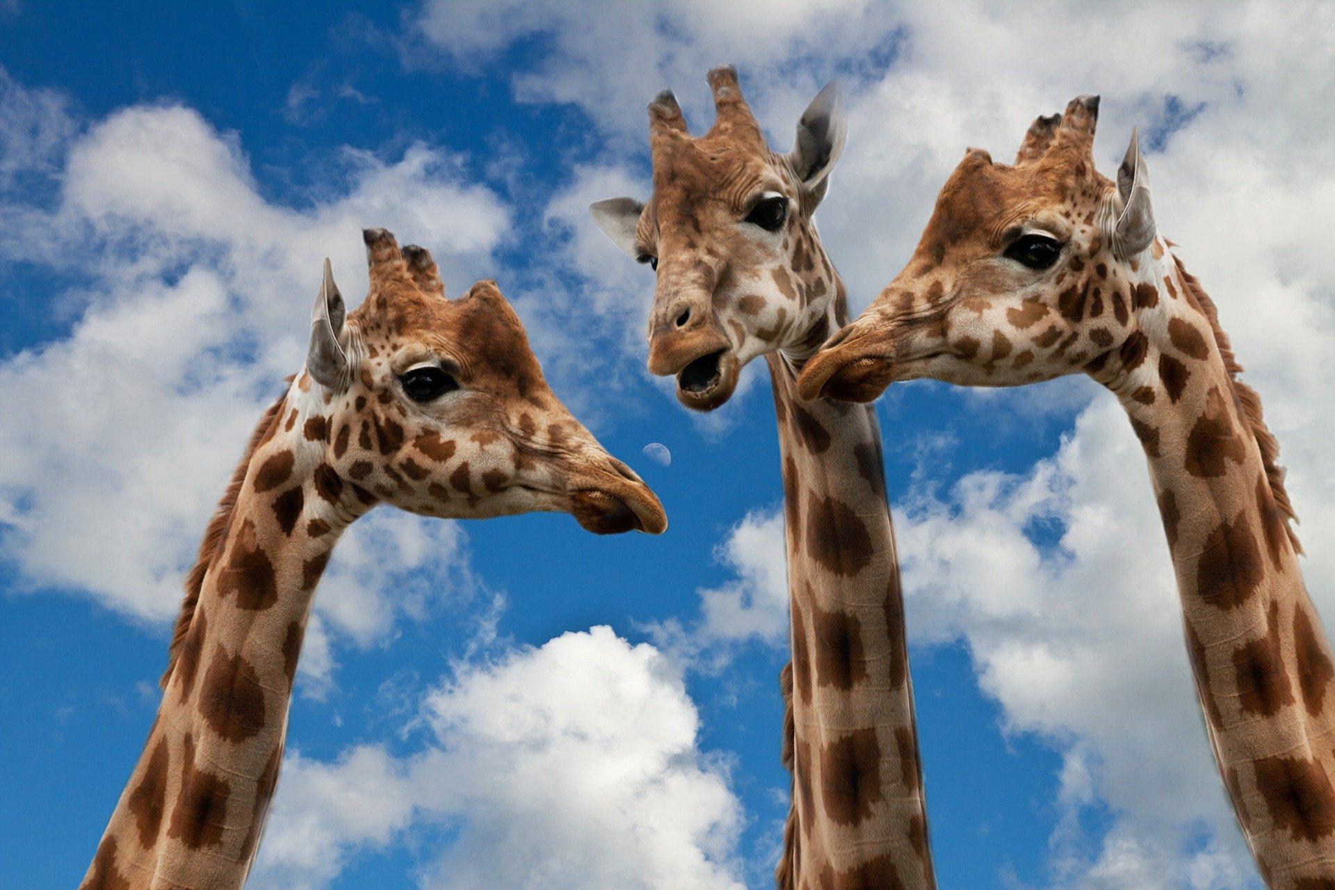 Three giraffes, taken from below, looking as though they're having a chat