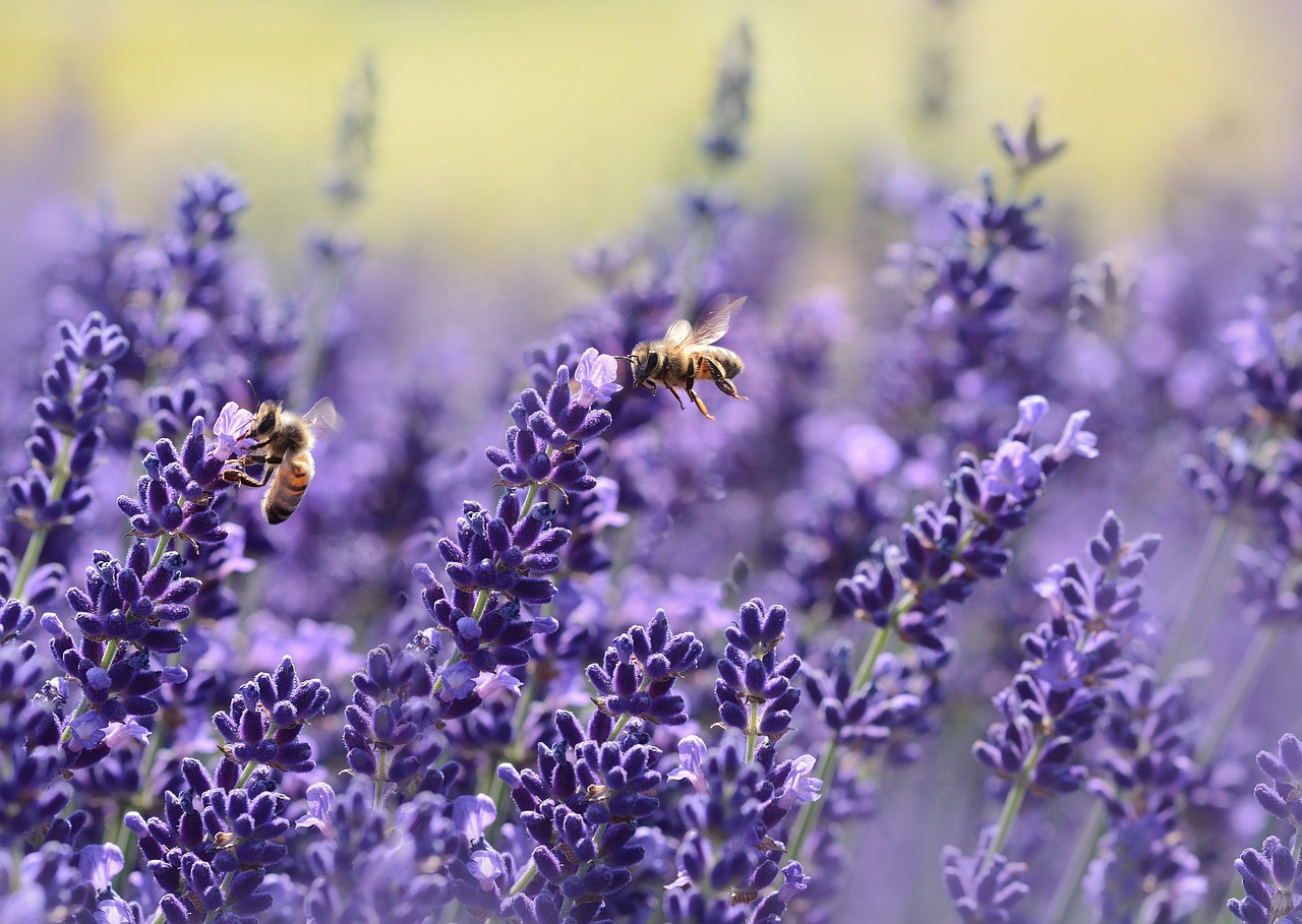 image of bees and purple lavender