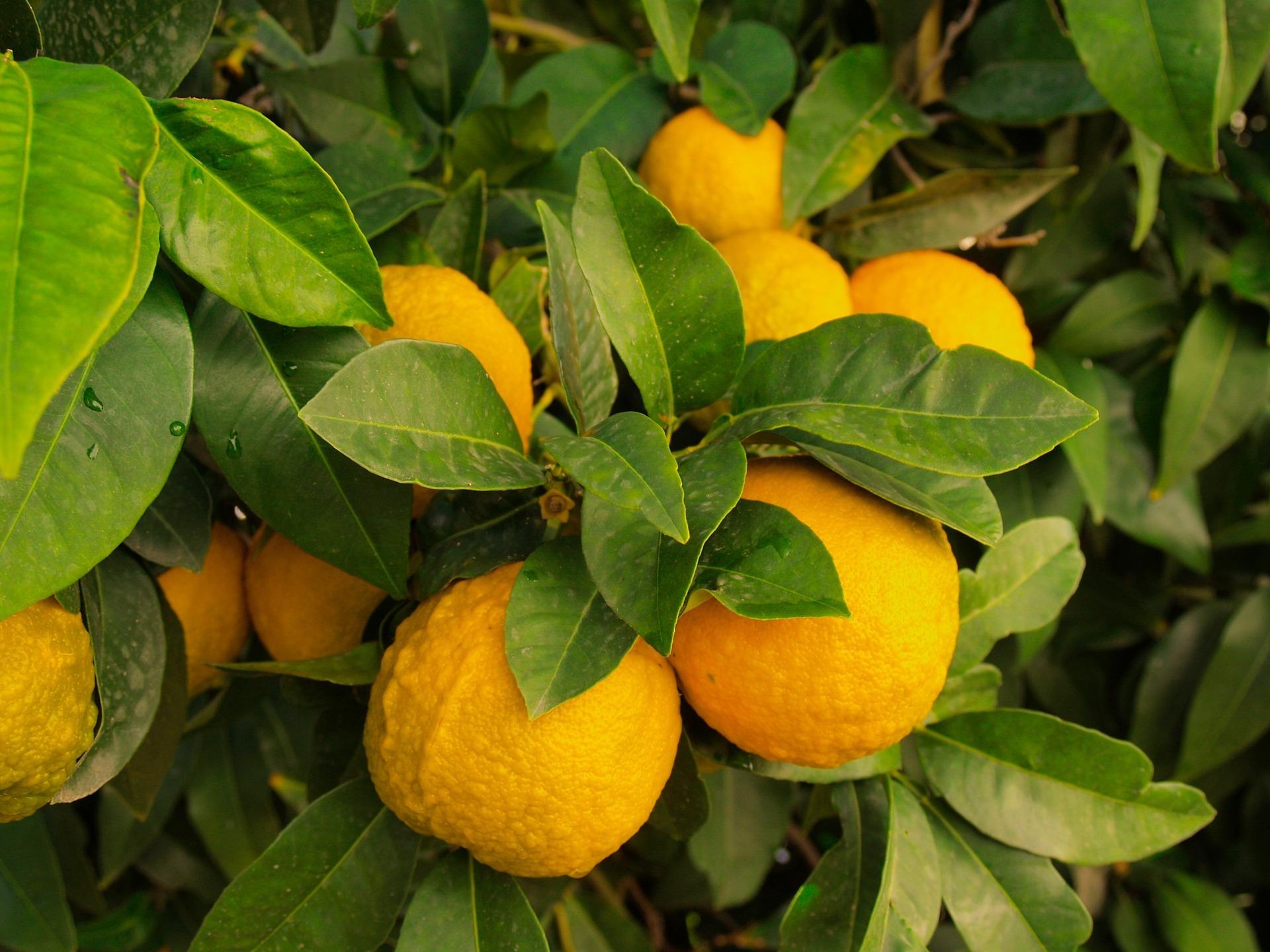 close up of lemon tree
