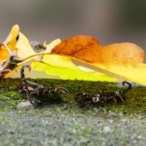 Two small scorpions shelter under a leaf