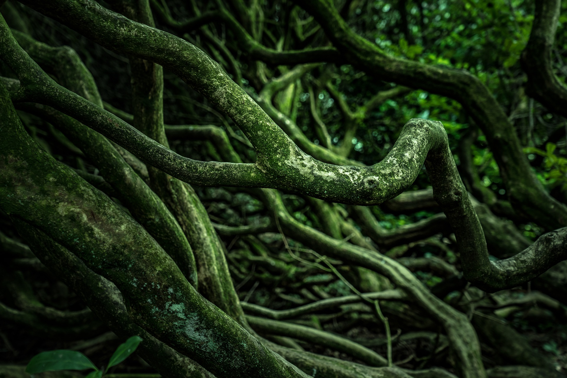 Dark green tree roots tangling together