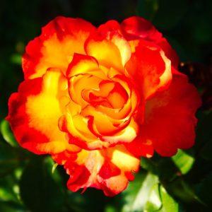 Lit-up Rose