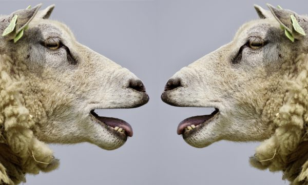 Close-up photo of two sheep with their mouths open as if to speak, facing one another