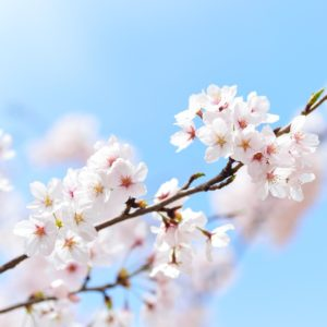Photo of a single branch of pink peach blossom